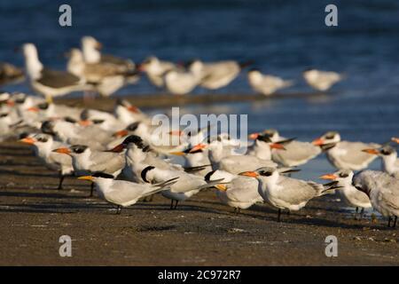African royal tern (Thalasseus maximus albididorsalis, Sternea maxima albididorsalis), flock standing with gulls on the beach, Morocco, Western Sahara - Stock Photo