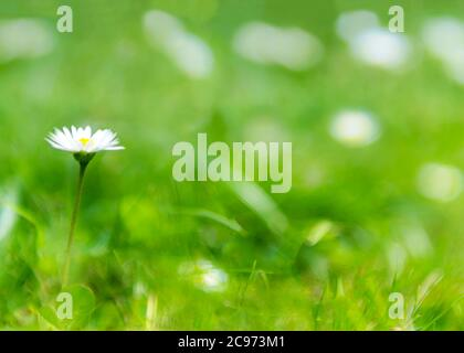 Single daisy in a lush green  un-focused  summer background on a bright summers moring , shot for copy space and text over lay
