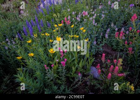 High mountain wildflowers.  The Albion Basin in Alta, Utah, USA is world renowned for its magnificent display of wildflowers.  8000'+ in elevation. - Stock Photo