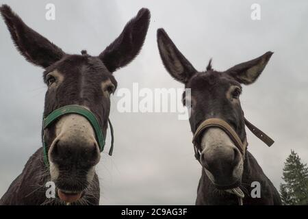 A low angle of donkeys with a gloomy sky background - Stock Photo