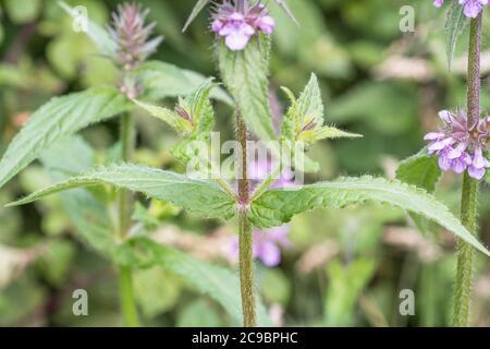 Leaves and purple flowers of Marsh Woundwort / Stachys palustris seen growing in damp field corner. Former medicinal plant used in herbal remedies. - Stock Photo