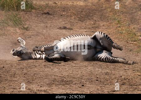 Zebra rolling on dusty ground. Stock Photo