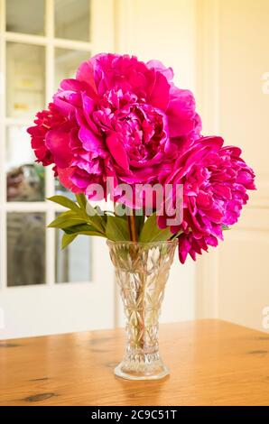 Magnificent double flowered pink Peonies make an ideal interior decoration as cut flowers in a glass vase