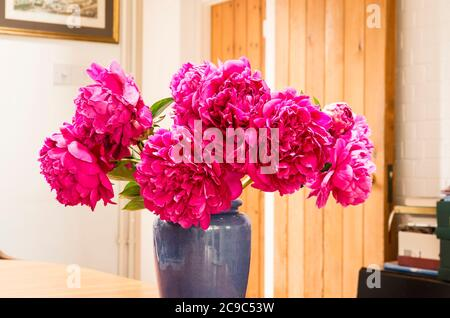 Magnificent double flowered pink Peonies make an ideal interior decoration as cut flowers in a blue vase
