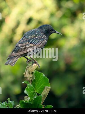 An adult Starling (Sturnus vulgaris) perched, Warwickshire - Stock Photo