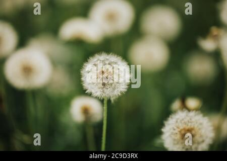 Beautiful fluffy dandelions in the open air on a blurred background, flowering dandelion