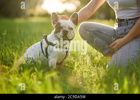 Side view of white and brown french bulldog sitting on grass in park and looking at camera. Unrecognizable female dog owner holding purebred pet between legs, sitting nearby. Domestic animals concept.