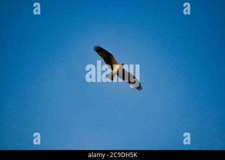 a sea eagle flying over the lake in sweden - Stock Photo