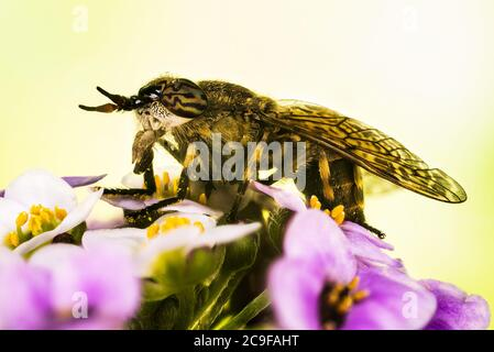 Common Horse Fly or Notch-horned Cleg Fly. Her Latin name is Haematopota pluvialis. - Stock Photo