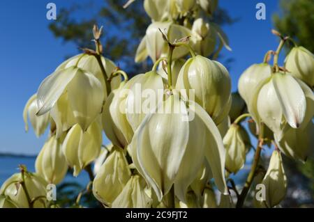 Close-up of bell-shaped white flowers, plant yucca gloriosa called spanish dagger, from Dalmatia, Croatia