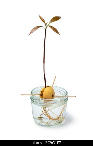 Avocado seedling in water in a glass jar isolated on white background - Stock Photo