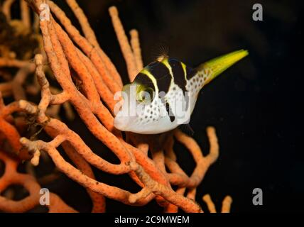Black-saddled Toby, Canthigaster valentini, on fan coral in Tulamben, Bali, Indonesia