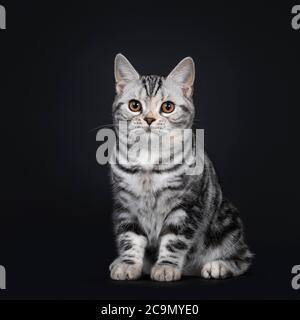 Cute silver tortie American Shorthair cat kitten, sitting side ways. Looking beside camera with orange eyes. Isolated on black background.