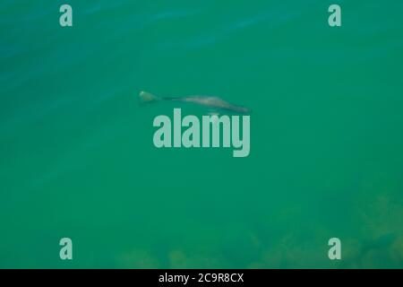 Wild salt water Barramundi swimming near Darwin in the Northern Territory of Australia. - Stock Photo