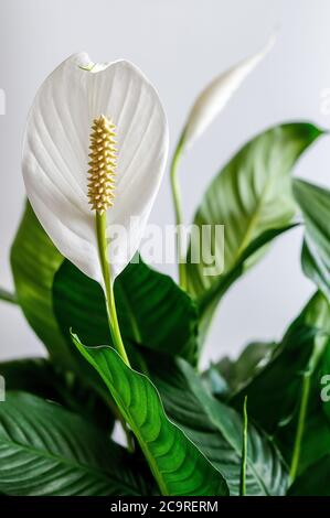 wingleaf, squabflower, Spathiphyllum, white flower in full bloom on a light background, green leaves, yellow-brown flask with seeds - Stock Photo