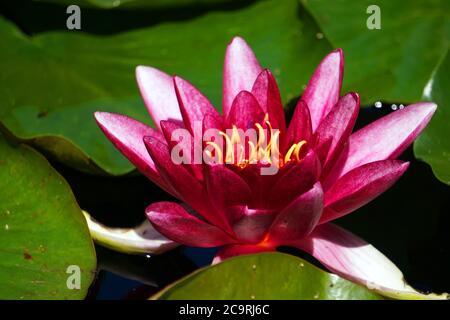 Pink lilly flower in garden Stock Photo