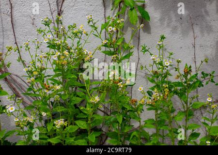Daisy fleabane in front of a concrete wall also called Erigeron annuus, Feinstrahl or Berufkraut