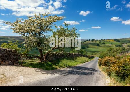 Looking down Trapping Hill in Nidderdale with a stunning flowering hawthorn tree and across to the village of Middlesmoor, North Yorkshire, England, u