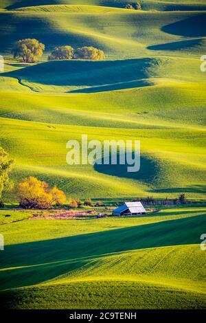 Palouse green wheat fields, seen from Steptoe Butte state park, Palouse, WA - Stock Photo