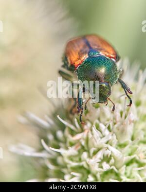 Japanese beetle - Popillia japonica - a species of scarab beetle, is considered a pest - Stock Photo