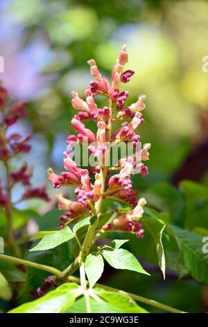red buckeye or firecracker plant, Echte Pavie oder Rote Rosskastanie, Aesculus pavia, vörös vadgesztenye vagy vörös bokrétafa - Stock Photo