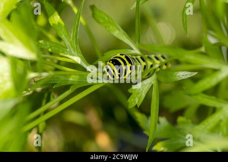 Black Swallowtail caterpillars. In North America they are more common species. It is the state butterfly of Oklahoma and New Jersey.