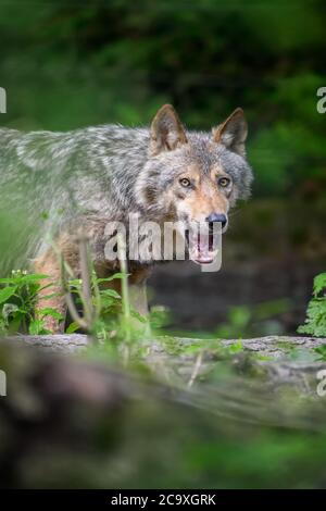 Gray wolf, Canis lupus, in the summer light, in the forest. Wolf in the nature habitat - Stock Photo