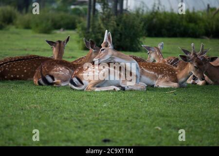 Fallow deer (Dama dama) buck grooming in the shade on a warm summer day