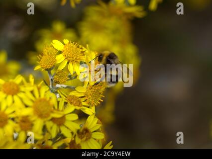 A White-tailed Bumble Bee collects pollen and nectar from the flowers of a Common Ragwort which assists with the plants pollination.