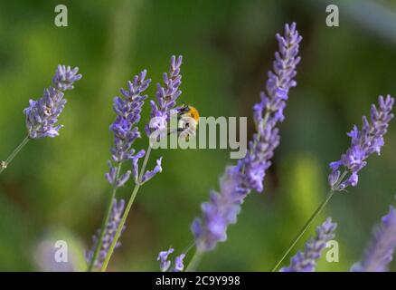 A bumblebee collecting pollen from English lavender flowers in Yorkshire, UK. - Stock Photo