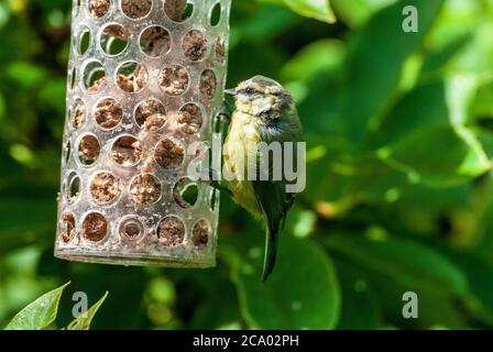 Chiffchaff on bird feeder. - Stock Photo