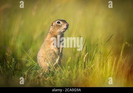Sysel obecny Spermophilus citellus European ground squirrel Radouc Mlada Boleslav. - Stock Photo