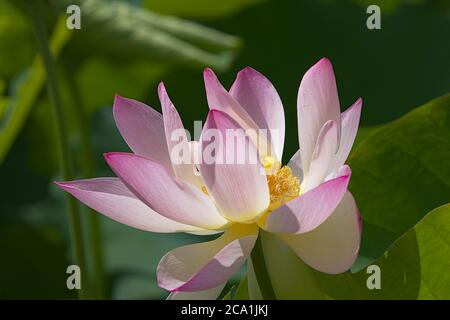 Closeup of Scared Lotus blossom flower head with large leaves in background