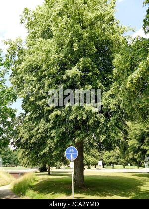 large-leaved lime tree, medicinal tree with flower. - Stock Photo