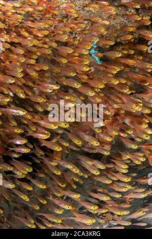 School of Yellow Sweepers (Parapriacanthus sp), Japanese Wreck dive site, Amed, Bali, Indonesia, Indian Ocean.