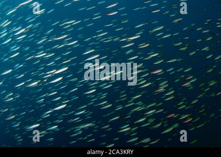 School of Slender Fusiliers (Gymnocaesio gymnoptera), Japanese Wreck dive site, Amed, Bali, Indonesia, Indian Ocean.