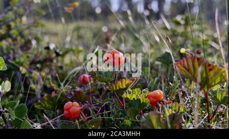 Cloudberry closeup in a fjeld in Swedish Lapland