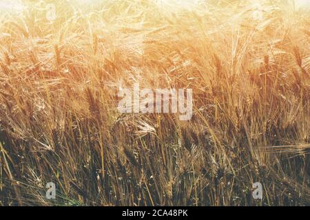 Golden wheat field at sunny day as natural background with copyspace. Rural scenery with ripening ears of golden wheat under beautiful sunlight. New - Stock Photo