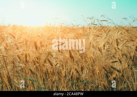 Golden wheat field at sunny day with blue sky as background with copyspace. Rural scenery with ripening ears of golden wheat under beautiful sunlight - Stock Photo