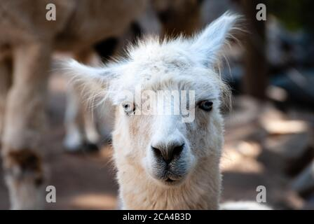 The alpaca (Vicugna pacos) is a species of South American camelid descended from the vicuña.
