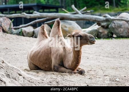 A camel is an even-toed ungulate in the genus Camelus that bears distinctive fatty deposits known as 'humps' on its back. - Stock Photo