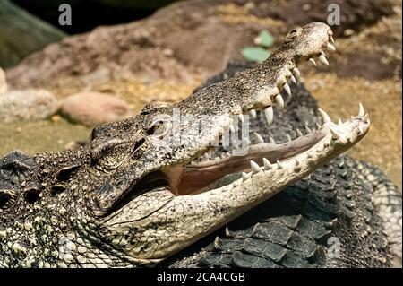 The Cuban crocodile (Crocodylus rhombifer) is a small species of crocodile found only in Cuba. - Stock Photo