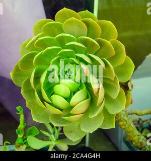 Closeup of a rose shaped growth head of Echeveria succulent plant. Echeveria is a large genus of flowering plants in the family Crassulaceae, native t Stock Photo