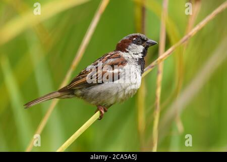 Close up of a male house sparrow (passer domesticus) perched on a branch