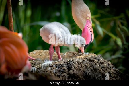 Flamingos (Phoenicopteridae) newborn baby with his mother, the flamingo's chick is at his mother's guard and cares for him.