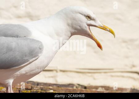 Portrait of a seagull squawking - Stock Photo
