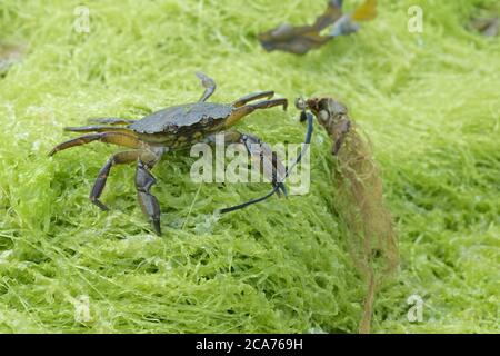 Common shore crab, also known as the european green crab, Carcinus maenas, stands on green seaweed wielding seaweed in its left claw. - Stock Photo