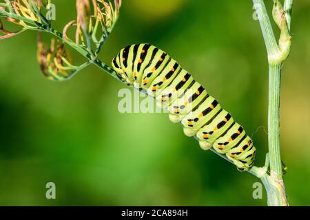Swallowtail caterpillar (Papilio machaon). Swallowtail caterpillar on dill plant, on natural background.