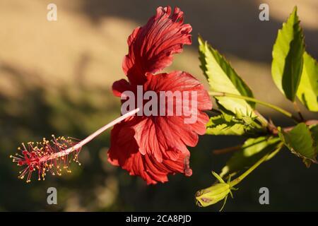 Hibiscus flower in full bloom in tropical Queensland garden - Stock Photo