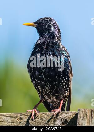 Common Starling (Sturnus vulgaris) looking to the side in Spring, perched on a fence in the UK. Starling portrait / vertical. - Stock Photo